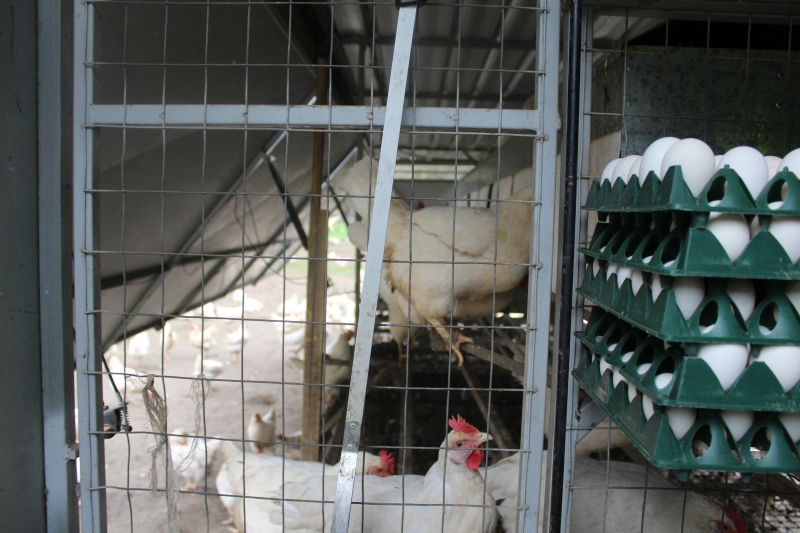 WHITE EGGS: Leghorns produce white eggs which differentiate Old Farm Happy Valley eggs from the competitors